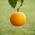 Valoración de árboles frutales