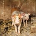 Proyecto de granja porcina