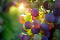 El cambio climático podría acabar con el vino